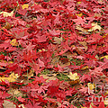 Japanese Red Maple Leaves by Ted Kinsman
