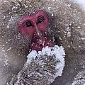 Japanese Snow Monkey by Natural Selection Anita Weiner