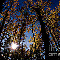 Jasper - Autumn Aspens by Terry Elniski