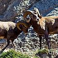 Jasper - Bighorn Sheep by Terry Elniski