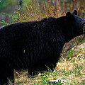 Jasper - Black Bear by Terry Elniski