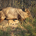 Javalina And Baby by Roena King