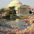 Jefferson Cherry Blossoms by Joe Myeress