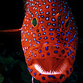 Jewel Grouper, Cephalopholis Miniata by Jeff Rotman