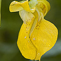 Jewelweed Flower 1 by John Brueske