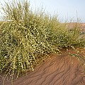 Joint-pine (ephedra Major) by Bob Gibbons