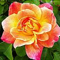 Joseph's Coat Rose by Kevin Pugh