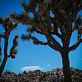 Joshua Tree 1 by Regis Keddie