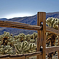Joshua Tree Cholla Garden by Linda Dunn