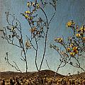 Joshua Tree Park In Bloom by Linda Dunn