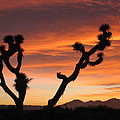 Joshua Trees In The Sunset by Berta Barocio-Sullivan