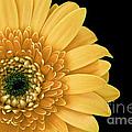 Joyful Delight Gerber Daisy by Inspired Nature Photography Fine Art Photography