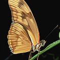 Julia Butterfly Dryas Iulia Portrait by Mark Moffett