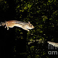 Jumping Chipmunk by Ted Kinsman