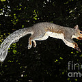 Jumping Gray Squirrel by Ted Kinsman