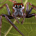 Jumping Spider Papua New Guinea by Piotr Naskrecki