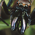 Jumping Spider Portrait, Queensland by Mark Moffett