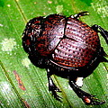 Jungle Beetle by Laurel Talabere