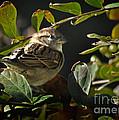 Junior Sparrow by Nava Thompson