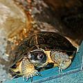 Just Kiss Me Turtle by LeeAnn McLaneGoetz McLaneGoetzStudioLLCcom