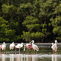 Juvenile And Adult Roseate Spoonbills by Tim Laman