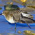 Juvenile Baird's Sandpiper by Tony Beck