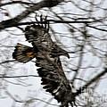 Juvenile Bold Eagle by Ronald Grogan
