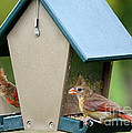 Juvenile Cardinals On Feeder by Carol Groenen
