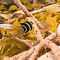 Juvenile French Angelfish Among French by Michael S. Lewis