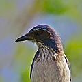 Juvenile Jay by Diana Hatcher
