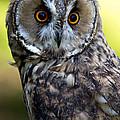Juvenile Long Eared Owl by Celine Pollard