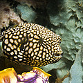 Juvenile Map Pufferfish by Georgette Douwma