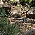 Juvenile Nile Crocodile by Howard Kennedy