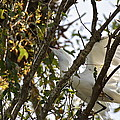 Juvenile Snowy Egret by Diana Hatcher