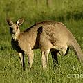 Kangaroo Male by Bob Christopher