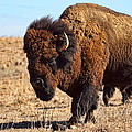 Kansas Buffalo by Alan Hutchins