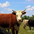 Kansas Country Cow's With Blue Sky And Grass by Robert D  Brozek