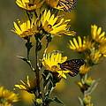Kansas Monarchs by Douglas Stucky
