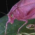 Katydid Female Guanacaste Costa Rica by Piotr Naskrecki