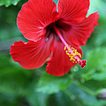 Kauai Red Flower by Karla DeCamp