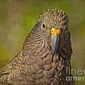 Kea Parrot by Carole Lloyd