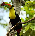Keel-billed Toucan by Andrew McInnes