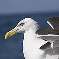 Kelp Gull by Bob Gibbons