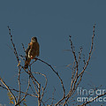 Kestrel  by Donna Brown