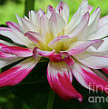Kidd's Climax Dahlia by Susan Herber