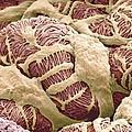 Kidney Glomerulus, Sem by Thomas Deerinck, Ncmir