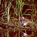 Killdeer by Jack R Brock