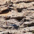 Killdeer Pitching A Fit by Edward Peterson