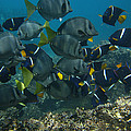 King Angelfish Holacanthus Passer by Pete Oxford