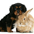 King Charles Spaniel And Rabbit by Mark Taylor